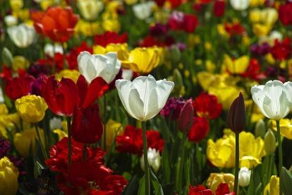 tulips-1511854_1920.jpg